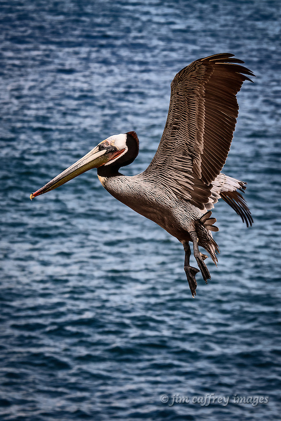 A Brown Pelican prepares to land at La Jolla Cove near San Diego, California.