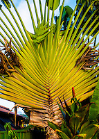 Traveler's tree in Hanalei, Kaua'i