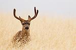 Black-tailed Deer (Odocoileus hemionus) buck, Santa Cruz, Monterey Bay, California