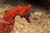 Red Pacific seahorse (Hippocampus ingens), close-up, underwater view,, Ecuador, Galapagos Archipelago,