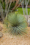 DASYLIRION LONGISSMUM, MEXICAN GRASS TREE OR TOOTHLESS DESERT SPOON OR SOTOL