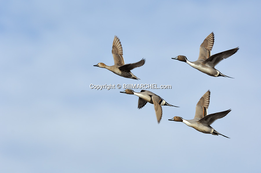 00300-028.06 Northern Pintail flock of four in fight against a broken sky.  Action, fly, sprig, waterfowl.