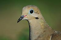 Mourning Dove, Zenaida macroura, adult, Willacy County, Rio Grande Valley, Texas, USA