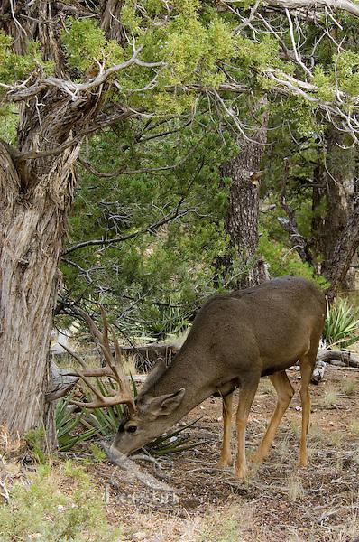 Mule deer buck foraging.  Northern Arizona.  Fall.