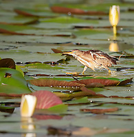 Least Bittern walking across a Water Lily Pad in early morning light