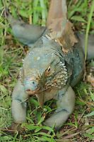 Blue iguana, blue dragon iguana, Cyclura lewisi, botanical gardens, Grand Cayman, Cayman Islands, Caribbean, endangered species, endemic species, (c)<br /> , Atlantic
