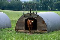 DEUTSCHLAND, , Versuchsgut Lindhof der UNI Kiel, Forschungsschwerpunkt ökologischer Landbau und extensive Landnutzungssysteme, Erforschung optimale Weidehaltung von Milchkuehen, z.Z. Jersey Kuehe, Kaelberbox