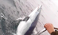 Record breaking mako shark pictured in in British waters