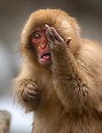 Cheeky monkey pulls face and hides eye by Roie Galitz