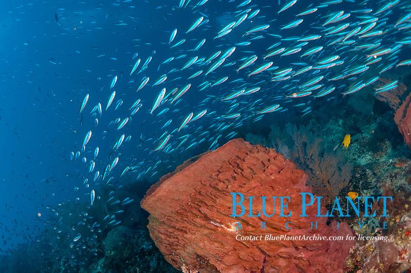 Bluestreak Fusiliers, Pterocaesio tile, school swimming around Barrel Sponge, Xestospongia testudinaria, Snake Ridge dive site, Gunung Api, near Alor, Indonesia, Banda Sea, Pacific Ocean