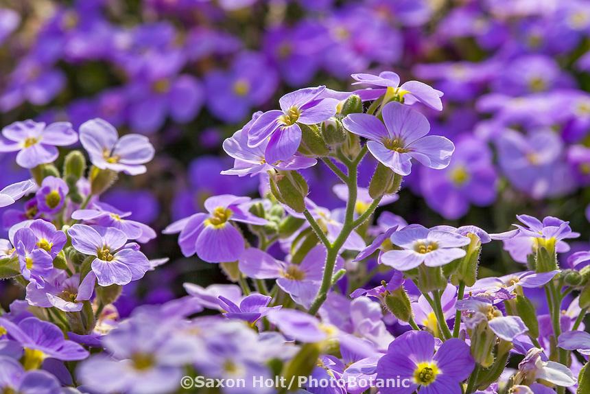 Rock Cress -AUDREY LIGHT BLUE IMP. Aubrieta Hybrida; Syngenta Flowers. Macro focus with telephoto lens for shallow depth of field.