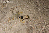 0612-1008  Great Basin Collared Lizard (Mojave Black-collared Lizard), Mojave Desert, Crotaphytus bicinctores  © David Kuhn/Dwight Kuhn Photography