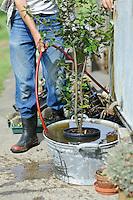 Soaking Quercus ilex (Evergreen Oak)