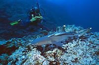diver and whitetip reef shark, Triaenodon obesus, Osprey Reef, Coral Sea Marine Park, Queensland, Australia, Coral Sea, Pacific Ocean
