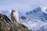 Mountain Goat in Northern Rockies, late fall.