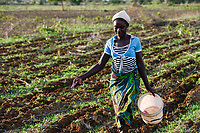ZAMBIA, Mazabuka, medium scale farmer Stephen Chinyama , he practise conservation farming, women sowing cotton in ripped furrows