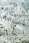 Racines aériennes de palétuviers