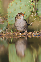 White-crowned Sparrow, Zonotrichia leucophrys, immature drinking, Uvalde County, Hill Country, Texas, USA