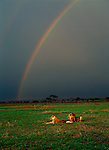 A lion and lioness rest beneath a rainbow curving through a stormy sky in Tanzania.