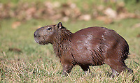 The capybara is the world's largest rodent.  They are excellent swimmers, and can elude jaguars by jumping in the water.