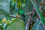 Ecuador, Andean cloud forest, Pavonine Quetzal (Pharomachrus pavoninus)