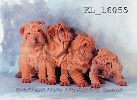 Interlitho, Alberto, ANIMALS, dogs, photos, 4 shar peis(KL16055,#A#) Hunde, perros