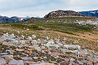 Large Mountain Goat herd (Oreamnos americanus) in the Beartooth Mountains near the Wyoming/Montana border.  This is mostly a nanny-kid group among granite boulders on the Beartooth Plateau.  Summer.