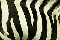Greveys Zebra, Equus grevyi, close -up of skin- stripes and mane