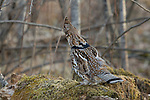 Ruffed grouse (Bonasa umbellus) attempting to hide from predators