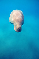 dugong or sea cow, Dugong dugon, showing closed valves over nostrils Indo-Pacific Ocean
