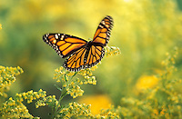 MONARCH BUTTERFLY (Danaus plexippus)..Flying through Goldenrod (Solidago x hybrida). Autumn..British Columbia, Canada.