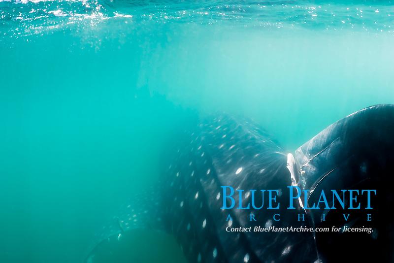 Whale Shark, Rhincodon typus, with severe propeller damage, Bahia de Los Angeles, , Sea of Cortez, Mexico, Pacific Ocean