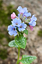 Lungwort (Pulmonaria officinalis), mid March. Fowers are pink initially, then turn blue.