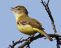 Adult Bell's vireo