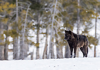 Though I struck out on wolf sightings in January, I lucked into a couple of closer encounters during my February visit. We also had a brief roadside encounter during my tour, during which my client was able to snap one or two photos out the window.