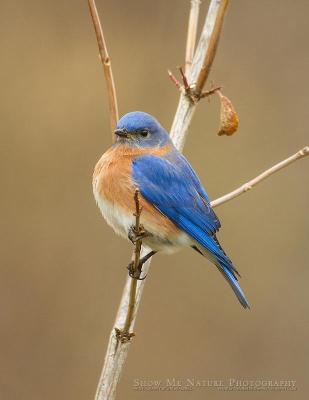 Male Eastern Bluebird sitting in a small tree in winter