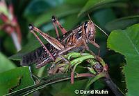 0407-1102  American Birdwing Grasshopper, Bird Locust, Schistocerca americana  © David Kuhn/Dwight Kuhn Photography