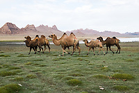 Mongolia, Bayan-Ulgii, Ulgii, Altai Mountains. Camels being herded.