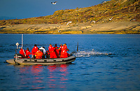 ecotourism, orca or killer whale, Orcinus orca, carousel feeding next to whale watching boat, jumping herring, Tysfjord, Arctic Norway, North Atlantic