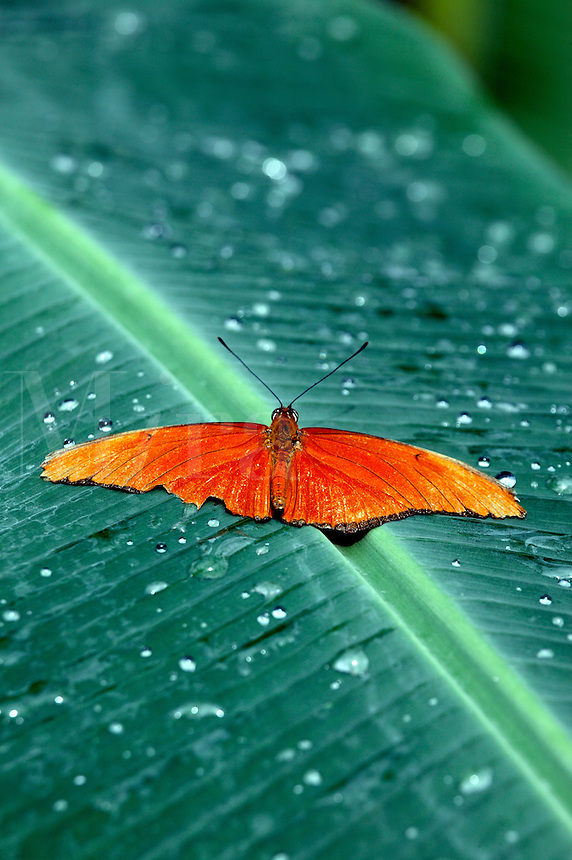 A Julia (Dryas iulia) at the world's largest Butterfly Observatory, La Paz Waterfall Gardens and Peace Lodge, Costa Rica