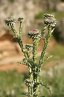Wild thistle near Adiyaman, southeastern Turkey