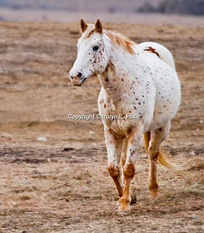 A horse trots in a field in Kansas.