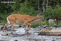 0623-1013  Northern (Woodland) White-tailed Deer, Odocoileus virginianus borealis  © David Kuhn/Dwight Kuhn Photography