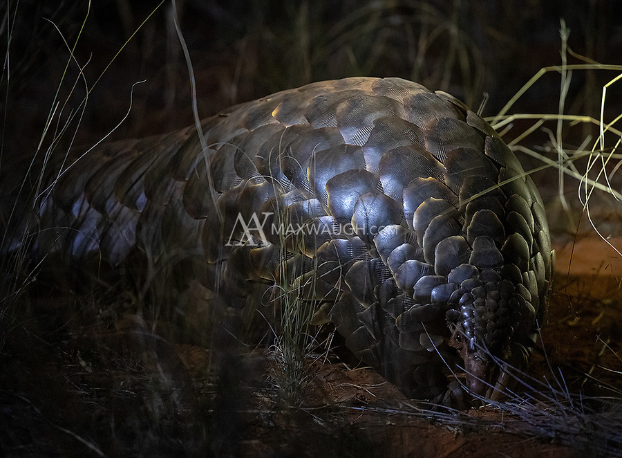 """My main wildlife goal on this trip—and the main reason we visited Tswalu—was to see my first pangolin. This is one of the """"holy grail"""" African wildlife species, and was the top animal on my wish list. It's also the world's most trafficked animal, and a recent multi-year drought hit the Tswalu population hard. We were fortunate to see two pangolins (both tagged with radio transmitters for research), and the first encounter, though brief, produced better-than-expected images in the long grass.<br /> <br /> Photo © Jennifer Waugh"""