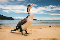 Cormorant on Abel Tasman Coastal Track, Abel Tasman National Park, Nelson Region, South Island, New Zealand