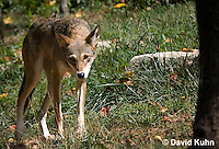 0822-1002  Critically Endangered Red Wolf, Canis rufus (syn. Canis niger)  © David Kuhn/Dwight Kuhn Photography