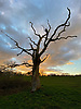 Dead tree on Hampstead Heath at colourful sunset.<br /> <br /> Stock Photo by Paddy Bergin