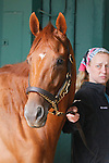 May 15, 2014:  Preakness contender Ring Weekend, trained by Graham Motion, walks the stakes barn shedrow with groom Lisa Conway after arriving Thursday morning at Pimlico Race Course in Baltimore, MD. ©Joan Fairman Kanes/ESW/CSM