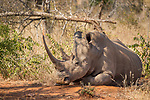 White Rhinoceros (Ceratotherium simum) female with Red-billed Oxpecker (Buphagus erythrorhynchus) pair, Greater Makalali Private Game Reserve, South Africa