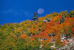 Full moonset above fall-colored aspen (Populus tremuloides) in Bierstadt Moraine, Rocky Mtn Nat'l Park, CO